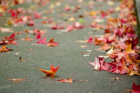 Red platanus leaves on a pavement in autumn, fall photo