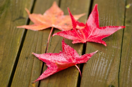 Red platanus leaves on a wooden surface in autumn, fall Stock Photo - 12421046