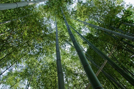 Green japanese bamboo forest seen from below Stock Photo - 12421019