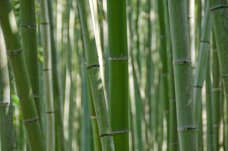 Background of green japanese bamboo stems in a  forest seen from the side