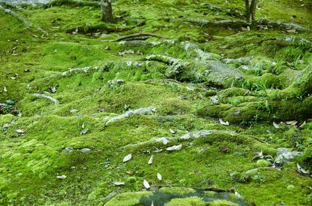 Moss and tree roots in a forest, natural green background photo