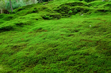 Natural carpet of green moss on a forest floor, green background