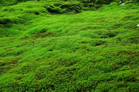 Natural carpet of green moss on a forest floor, green background photo
