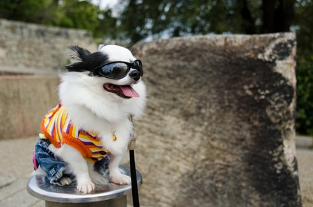 Cool dog with clothes and sunglasses in Japan photo