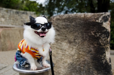 Cool dog with clothes and sunglasses in Japan Standard-Bild