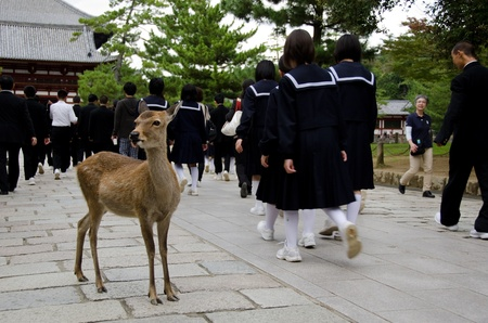 Sika Deer on a stonepath in Nara with tourists Editorial