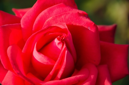 Detail view of a red rose flower in sun light photo