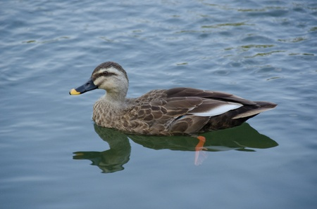 bird web footed:  Spot-billed Duck, Anas poecilorhyncha, swimming on a lake