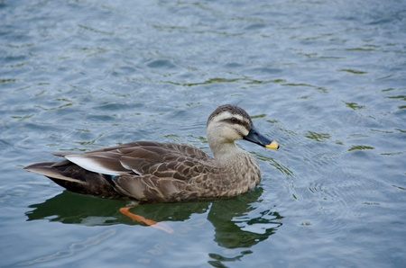 web footed:  Spot-billed Duck, Anas poecilorhyncha, swimming on a lake