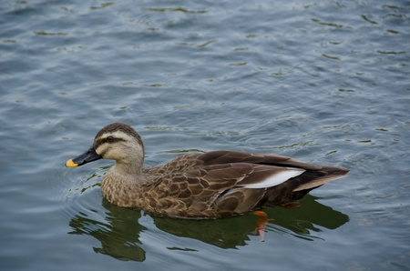 Spot-billed Duck, Anas poecilorhyncha, swimming on a lake photo