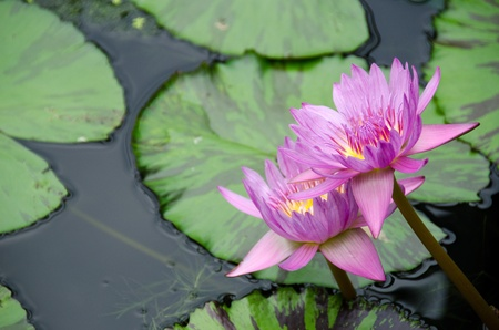 Detail of a purple water lily with copy space Stock Photo - 12945872