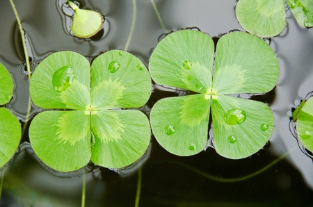 Water clover, Marsilea mutica, with four clover like leaves on water surface photo