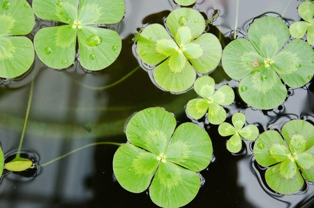 four leaf clover: Water clover, Marsilea mutica, with four clover like leaves on water surface