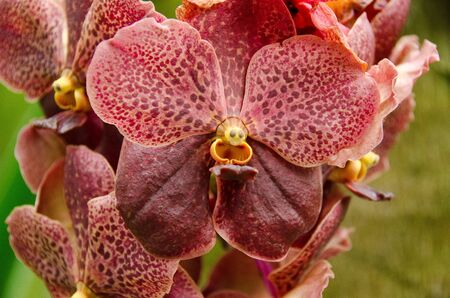 Closeup of a brown orchid flower background pattern photo