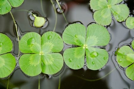 Water clover, Marsilea mutica, with four clover like leaves on water surface
