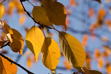 Golden leaves of a cherry tree in autumn, foliage Stock Photo