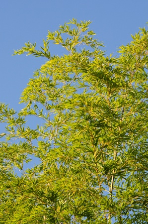 Background of a green japanese bamboo tree seen from below photo