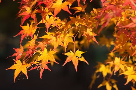 Red leaves of the japanese maple in autumn, foliage Stock Photo - 13195818