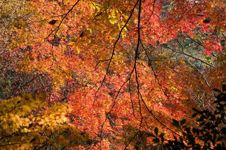 Red leaves of the japanese maple in a forest in autumn, foliage photo