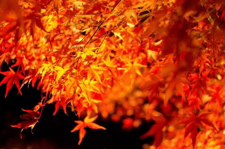 acer palmatum: Red leaves of the japanese maple in autumn in artificial light, foliage