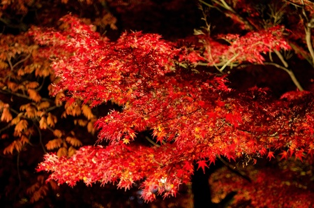 Red leaves of the japanese maple in autumn in artificial light, foliage photo