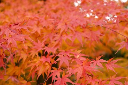 Red leaves of the japanese maple in autumn, foliage photo
