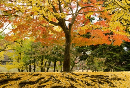 Japanese maple tree in autumn with yellow ginkgo leaves on forest floor photo