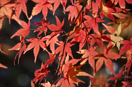 Red and yellow leaves of the japanese maple, acer palmatum, in autumn photo