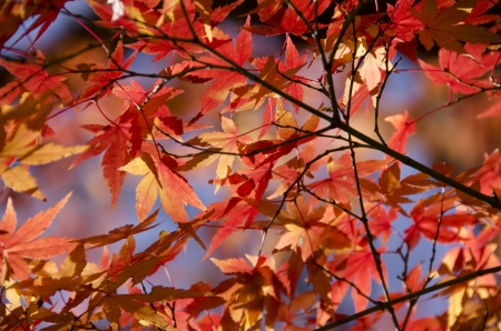 Red and yellow leaves of the japanese maple, acer palmatum, in autumn