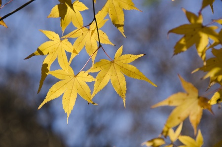 A branch of yellow leaves of japanese maple in backlight, in front of a blue sky photo