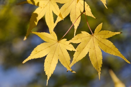 acer palmatum: A branch of yellow leaves of japanese maple in backlight, in front of a blue sky Stock Photo