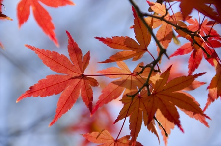 A branch of yellow red leaves of japanese maple in backlight, in front of a blue sky photo