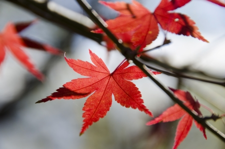 A branch of yellow red leaves of japanese maple in backlight, in front of a blue sky
