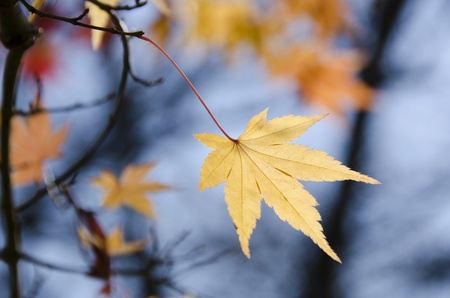A branch with a yellow  leave of japanese maple in backlight, in front of a blue sky Standard-Bild
