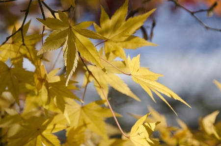 A branch of yellow leaves of japanese maple in front of a blue sky photo