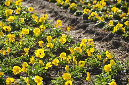 Yellow pansy field in a park in sun shine Stock Photo - 14736827