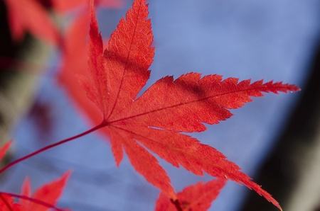 Detail of a red leaf of Acer palmatum, japanese maple on the tree in autumn photo