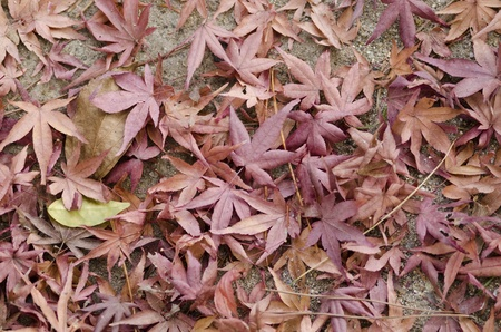Dry brown and red leaves of japanese maple on the forest floor in autumn photo