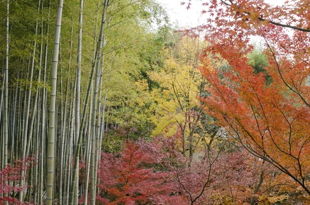 acer palmatum: Colorful japanese autumn scene in a forest with maple and bamboo Stock Photo