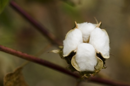 plant gossypium: Closeup of a cotton plant, Gossypium, at harvest time