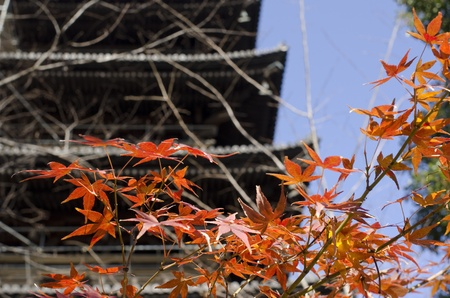 Japanese temple pagoda with red maple leaves in autumn, fall