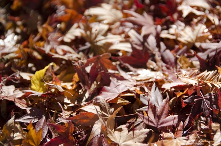 Background of japanese maple leaves in autumn on the forest floor photo