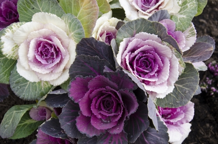 Red and white decorative cabbage, Brassica oleracea var  acephala, in Japan Stock Photo