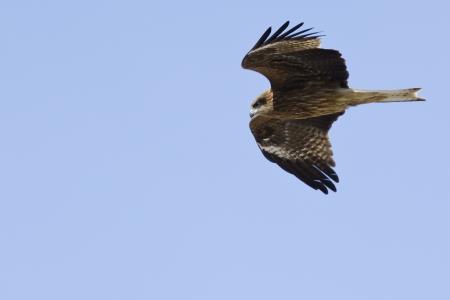 milvus: Black Kite, Milvus migrans flying in the air and seen from below Stock Photo
