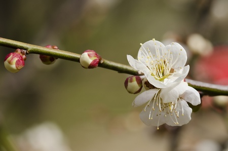 White flowers of a plum tree in spring  photo