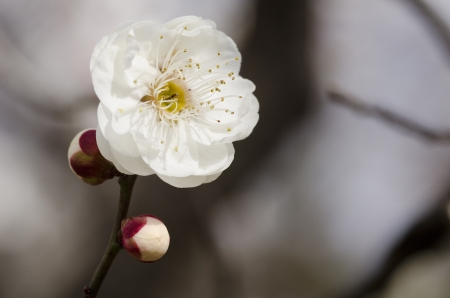 White flowers of a plum tree in spring Stock Photo - 17907017