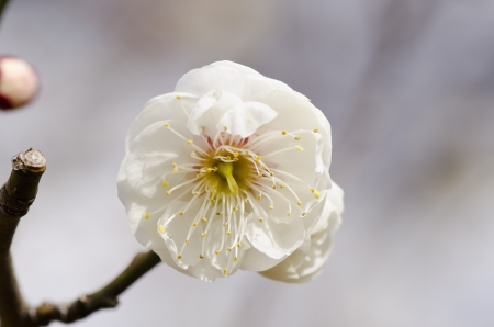 White flowers of a plum tree in spring  Stock Photo - 17907014