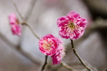 Pink flowers of a plum tree in spring  Stock Photo - 17907023