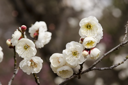 White flowers of a plum tree in spring Stock Photo - 17907024
