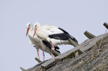 White storks on a roof  Ciconia ciconia  in early spring photo
